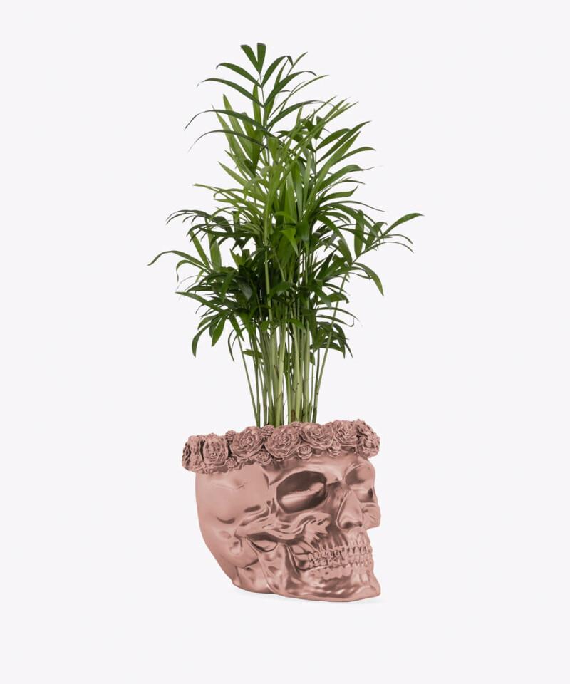 Chamedora Wytworna w rose gold betonowej czaszce flower