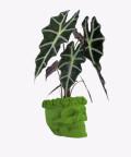 Alokazja, w zielonej betonowej czaszce flower