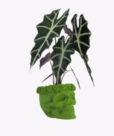 Alokazja w zielonej betonowej czaszce flower