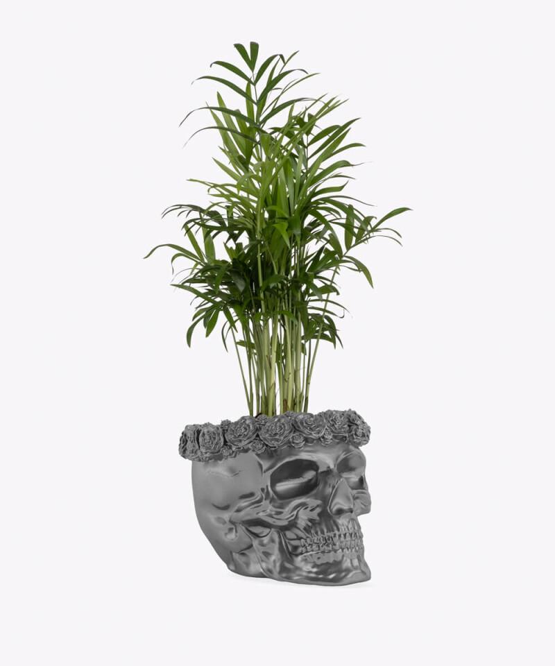Chamedora Wytworna w stalowej betonowej czaszce flower