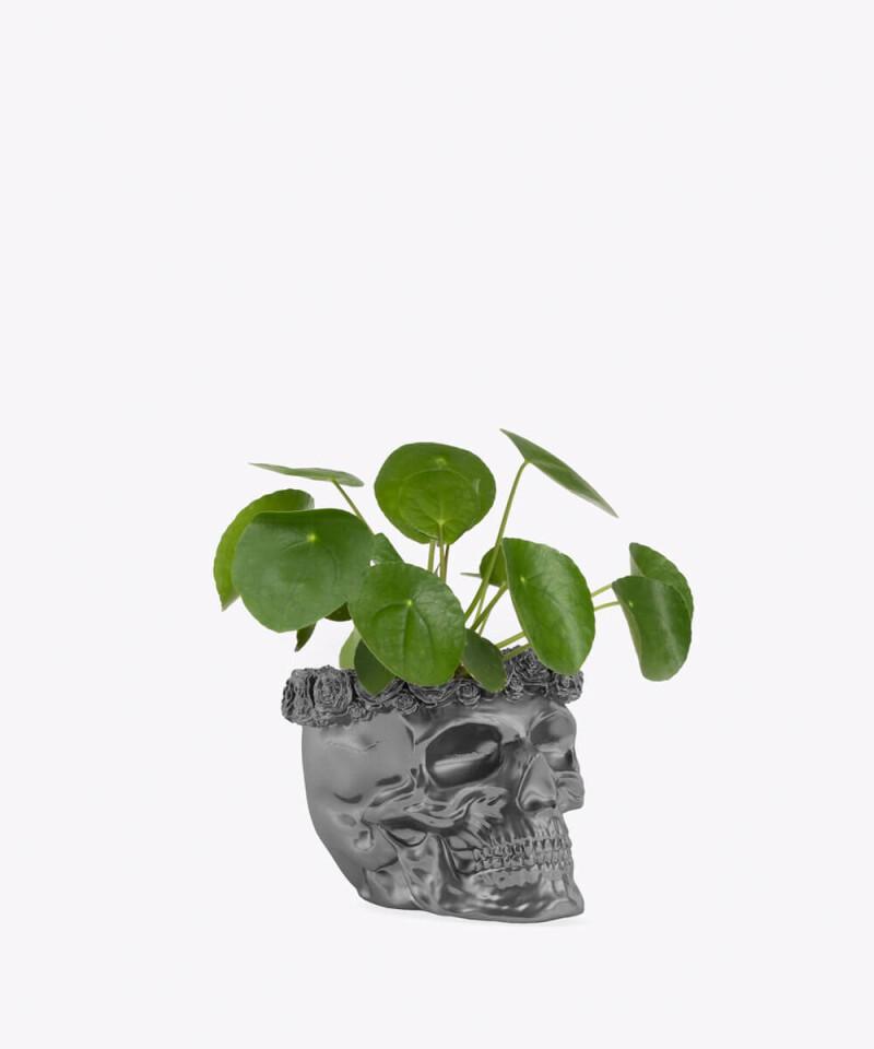 Pilea Peperomiowata w stalowej betonowej czaszce flower
