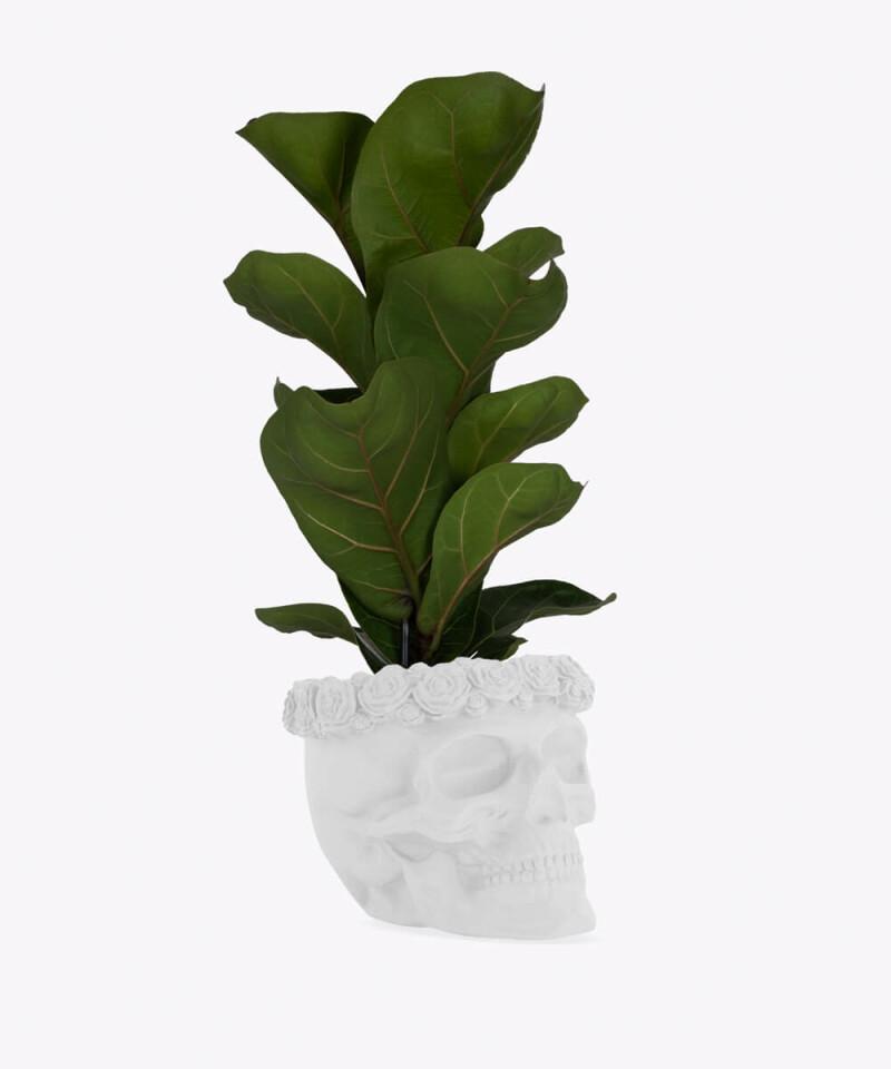 Figowiec Dębolistny w białej betonowej czaszce flower