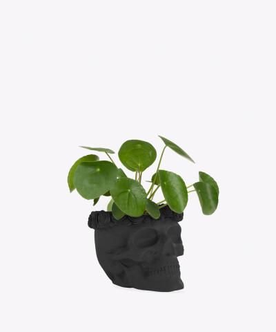 Pilea Peperomiowata w czarnej betonowej czaszce flower