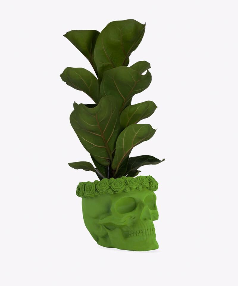Figowiec Dębolistny w zielonej betonowej czaszce flower