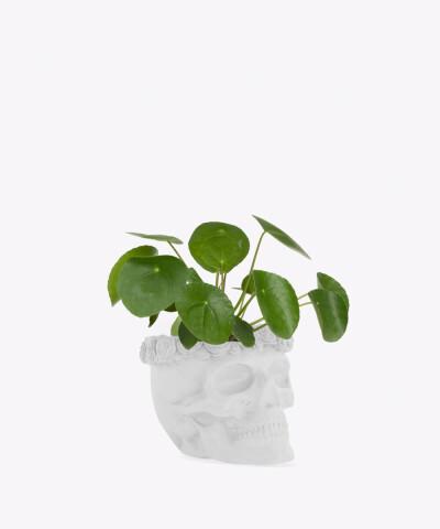 Pilea Peperomiowata w białej betonowej czaszce flower