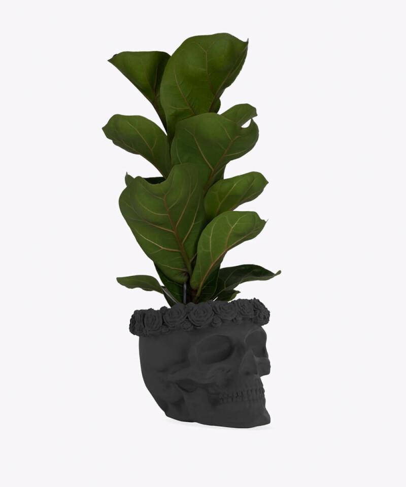 Figowiec Dębolistny w czarnej betonowej czaszce flower