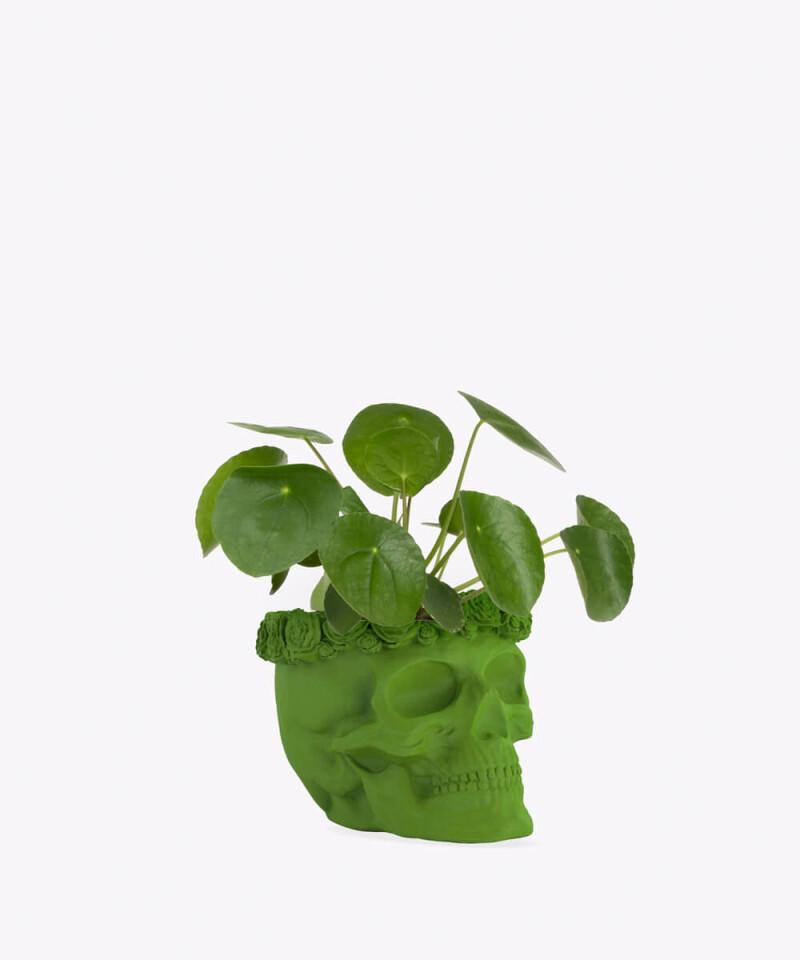Pilea Peperomiowata w zielonej betonowej czaszce flower