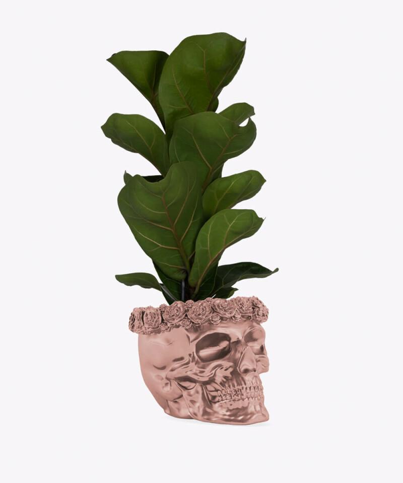 Figowiec Dębolistny w rose gold betonowej czaszce flower