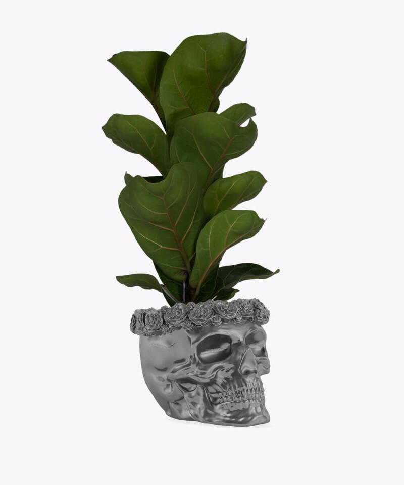 Figowiec Dębolistny w stalowej betonowej czaszce flower