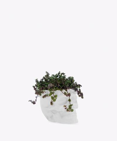 Smużyna Płożąca w białej betonowej czaszce flower