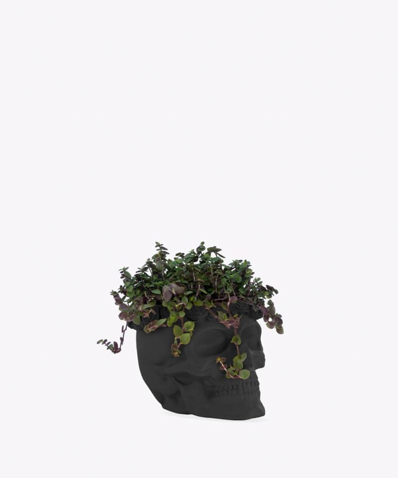 Smużyna Płożąca w czarnej betonowej czaszce flower