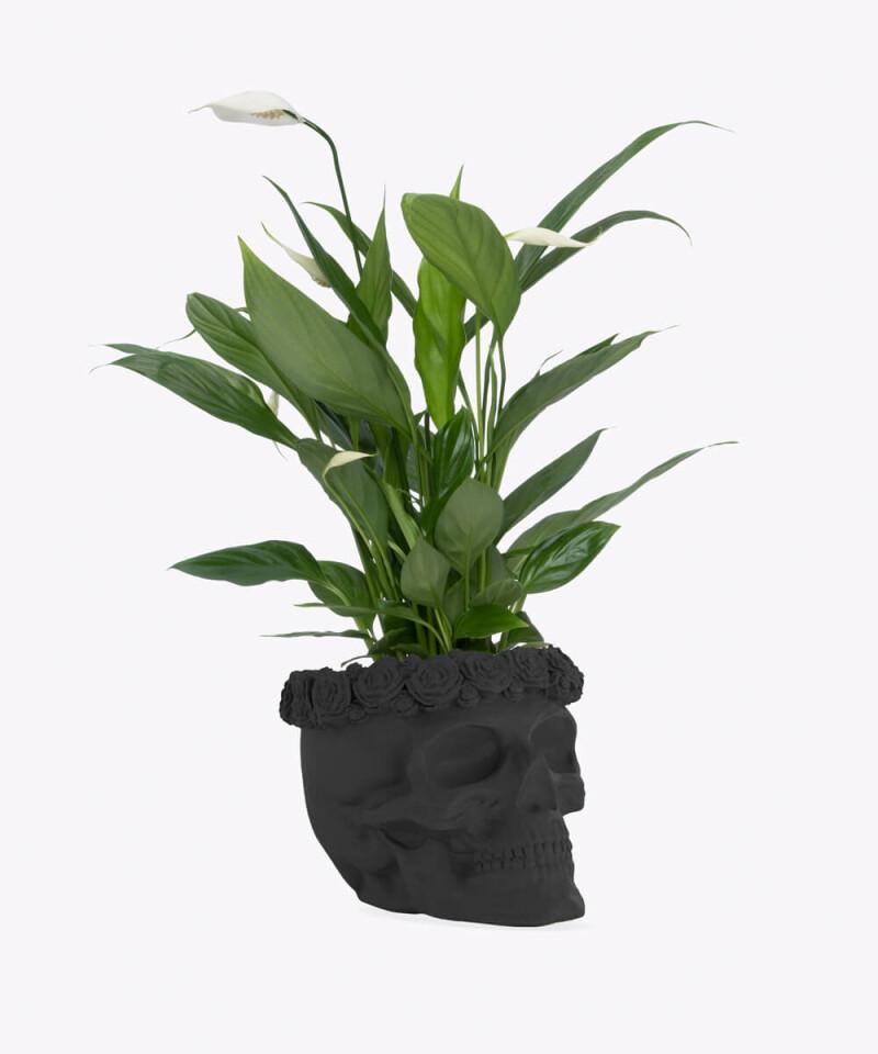 Skrzydłokwiat w czarnej betonowej czaszce flower