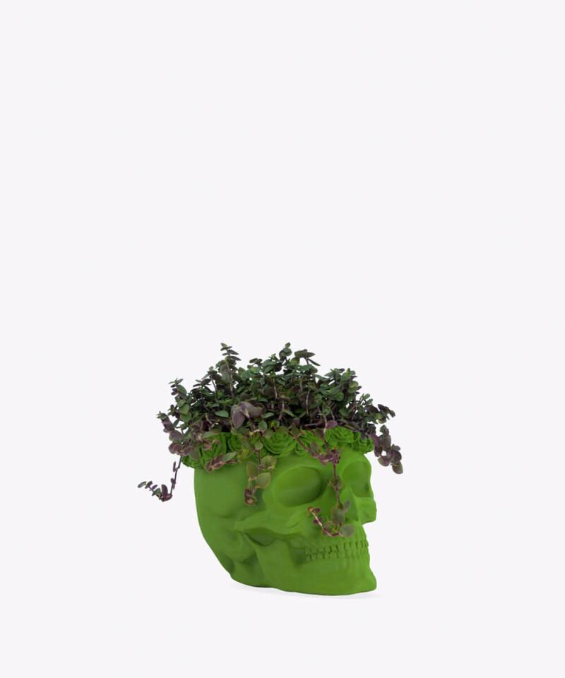 Smużyna Płożąca w zielonej betonowej czaszce flower