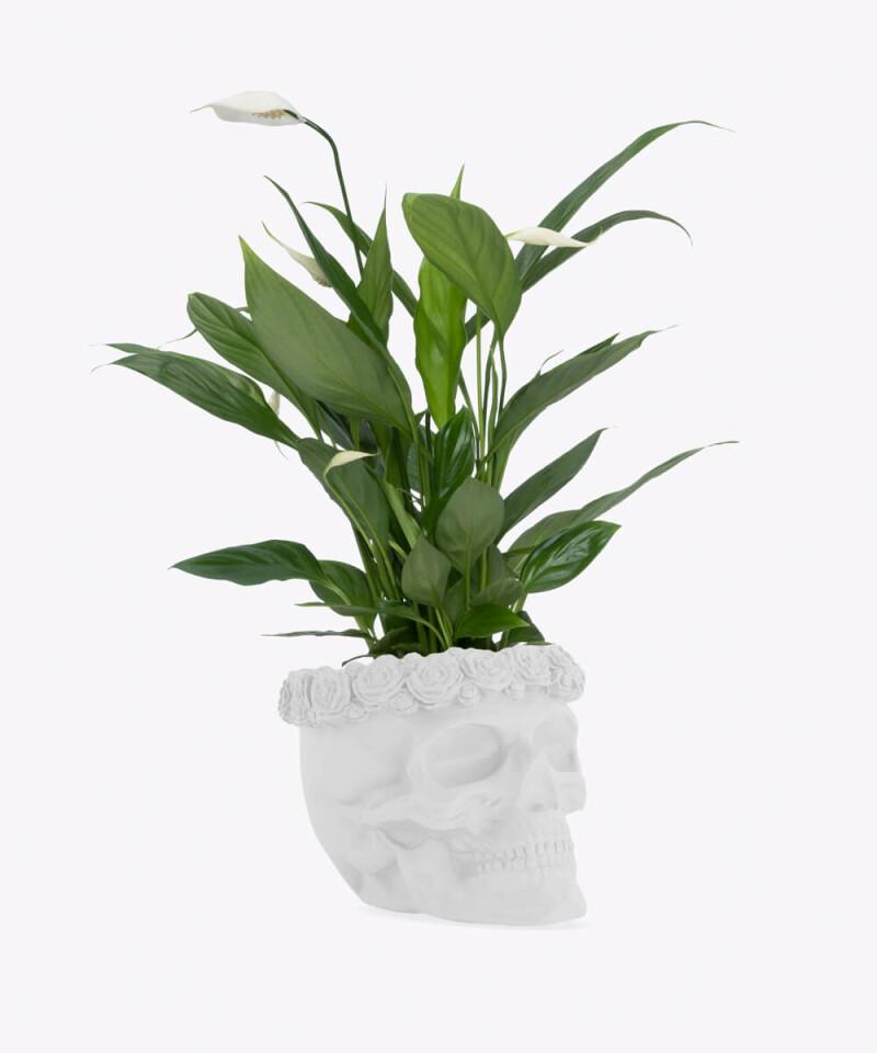 Skrzydłokwiat w białej betonowej czaszce flower