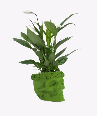 Skrzydłokwiat w zielonej betonowej czaszce flower
