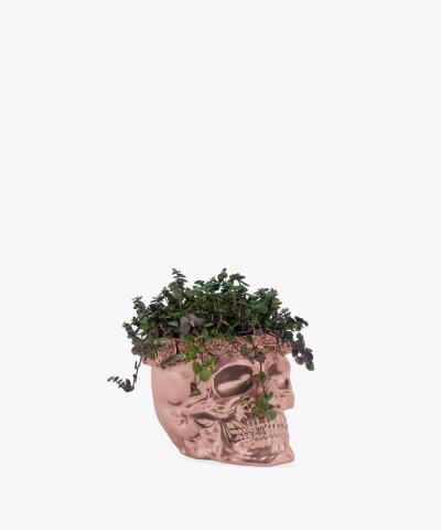 Smużyna Płożąca w rose gold betonowej czaszce flower