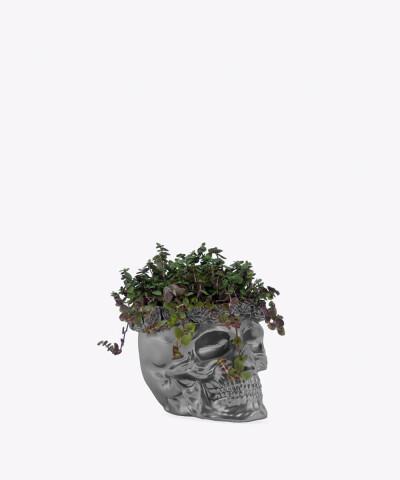 Smużyna Płożąca w stalowej betonowej czaszce flower