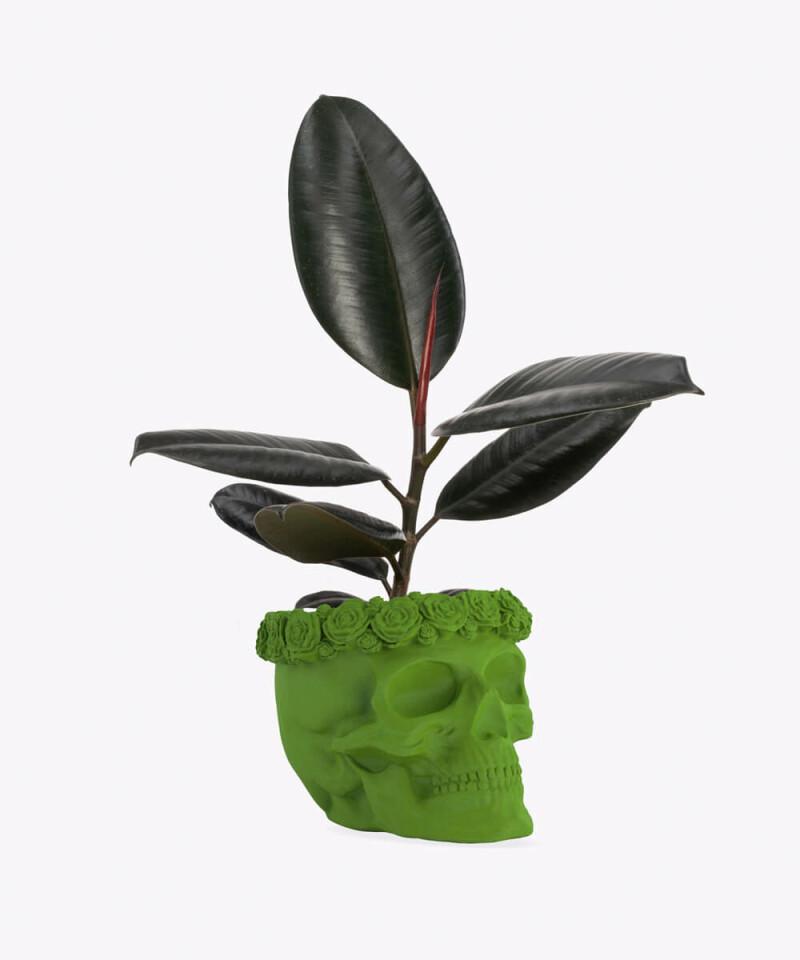 Figowiec Sprężysty w zielonej betonowej czaszce flower