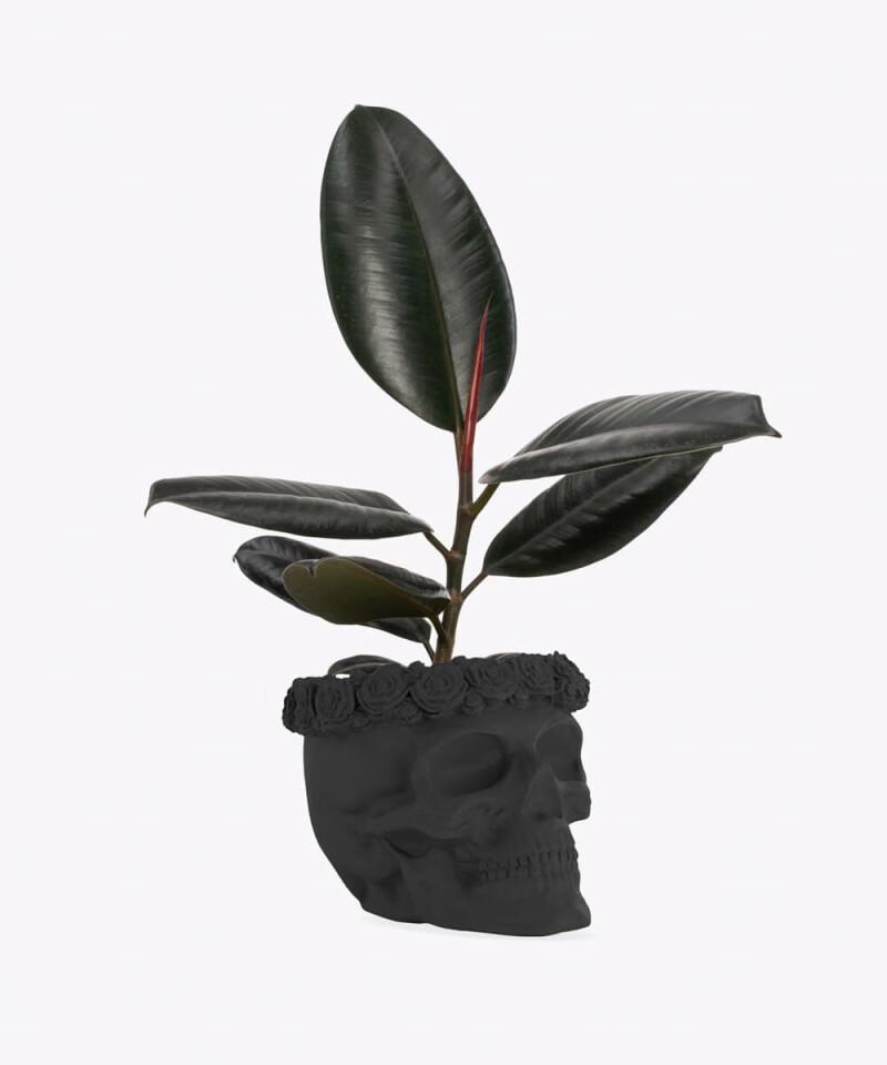 Figowiec Sprężysty w czarnej betonowej czaszce flower