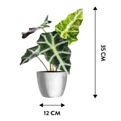 Alokazja (Alocasia polly) - Wymiary rośliny