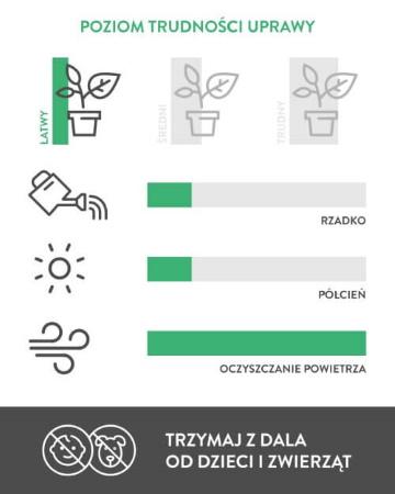 Zamiokulkas Zamiolistny - wymiary rośliny