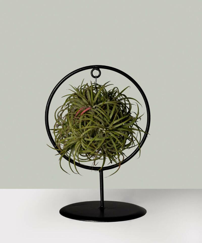 Tillandsia ionantha - Oplątwa (air plant)