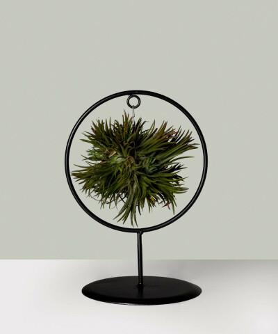 Tillandsia ionantha - Oplątwa w okrągłym stojaku (Air Plant)