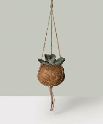 Eszeweria w wiszącej donicy kokedama