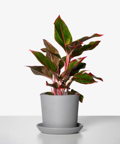 Aglaonema Light Pink Star w szarej doniczce ceramicznej