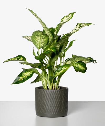 Dieffenbachia Compacta w zielonej doniczce walec