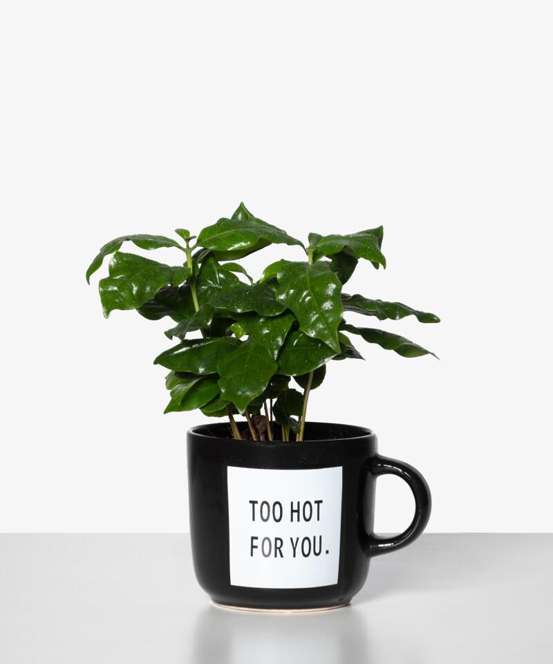Coffea Arabica doniczka z uchem