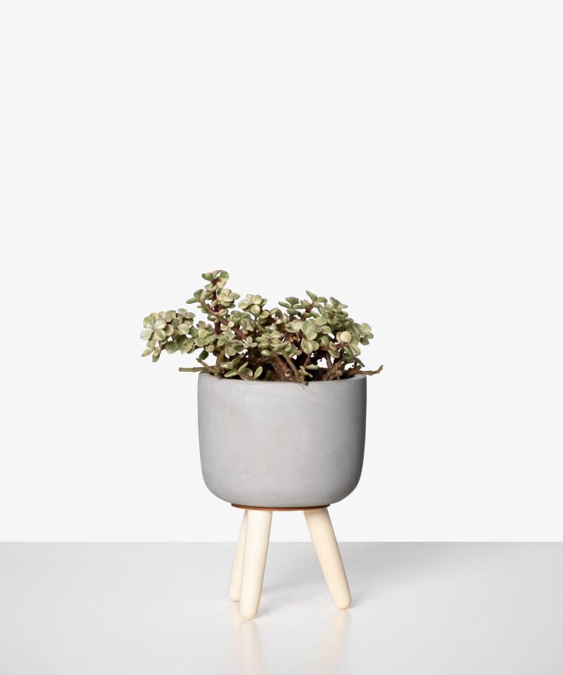 Portulacaria afra medio picta  w szarej doniczce ceramicznej z nóżkami