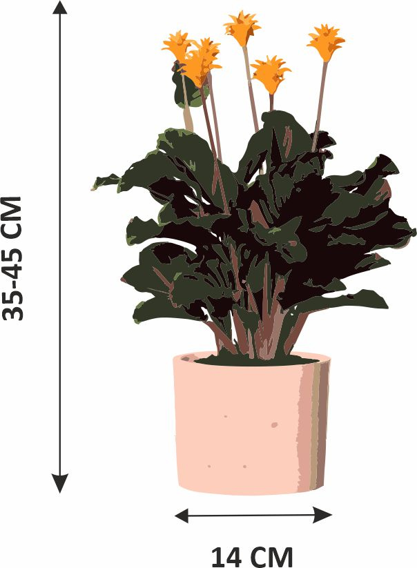 calathea crocata doniczce - wymiary