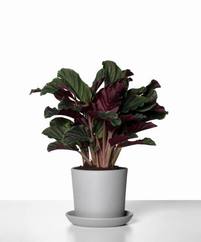Calathea Crocata w szarej doniczce ceramicznej