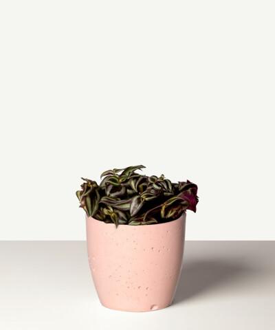 """Trzykrotka pasiasta """"Purple Joy""""  (Tradescantia zebrina) w różowej betonowej doniczce"""