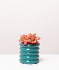 Fitonia Różowa, w turkusowej doniczce ceramicznej