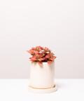 Fitonia Różowa, w kremowej doniczce ceramicznej z podstawką