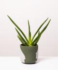Aloes Zwyczajny, w dwukolorowej zielonej doniczce
