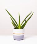 Aloes Zwyczajny, w dwukolorowej szarej z paskiem