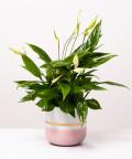 Skrzydłokwiat, w dwukolorowej różowej z paskiem