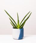 Aloes Zwyczajny, w dwukolorowej niebieskiej doniczce betonowej