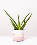 Aloes Zwyczajny, w dwukolorowej różowej doniczce z paskiem