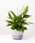 Skrzydłokwiat, w dwukolorowej szarej doniczce z paskiem