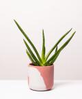 Aloes Zwyczajny, w dwukolorowej różowej doniczce betonowej