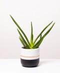 Aloes Zwyczajny, w dwukolorowej czarnej doniczce z paskiem