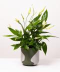 Skrzydłokwiat, w dwukolorowej zielonej doniczce