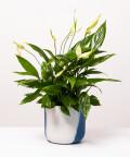 Skrzydłokwiat, w dwukolorowej niebieskiej doniczce