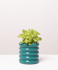 Fitonia Zielona, w turkusowej doniczce ceramicznej