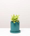 Fitonia Zielona, w turkusowej doniczce ceramicznej z podstawką