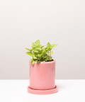 Fitonia Zielona, w różowej doniczce ceramicznej z podstawką